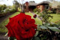 Suburban_rose