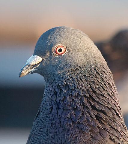 427px-Pigeon_portrait_4861
