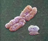 X and Y chromosomes