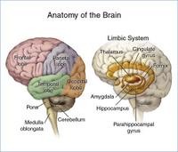 Lobes_brain_stem_and_limbic_system